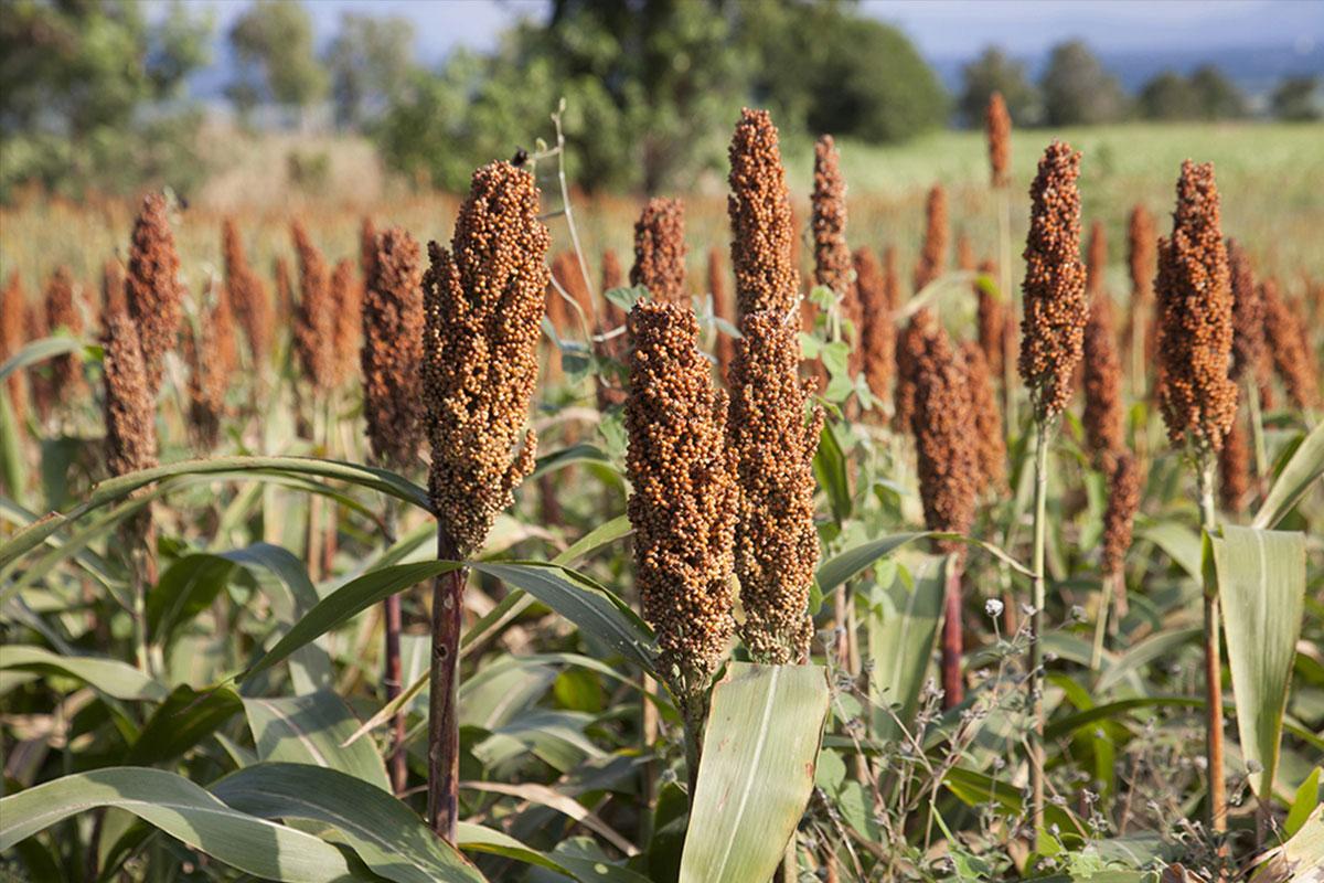 Le millet : Un ingrédient naturel et bio de la formule a12
