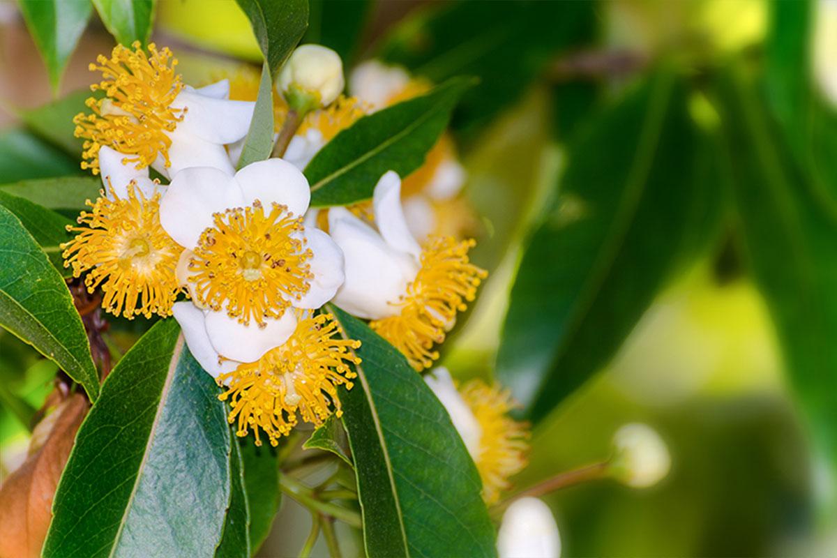 La calophylle : Un ingrédient naturel et bio de la formule a12